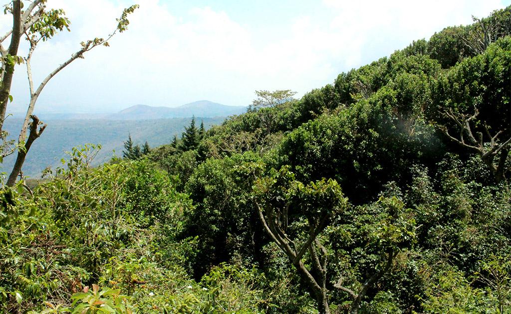 エルサルバドル エルコロソ農園