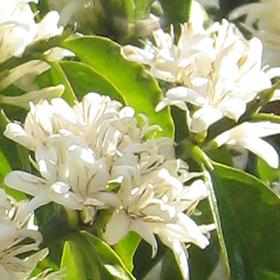 セリアン農園 コーヒーの花