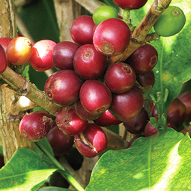ベンガラ農園の完熟コーヒーチェリー