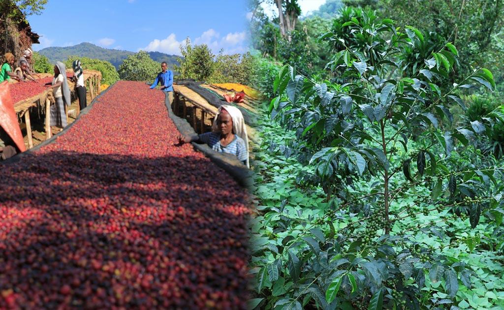 エチオピア ゲレナ農園のゲイシャ種